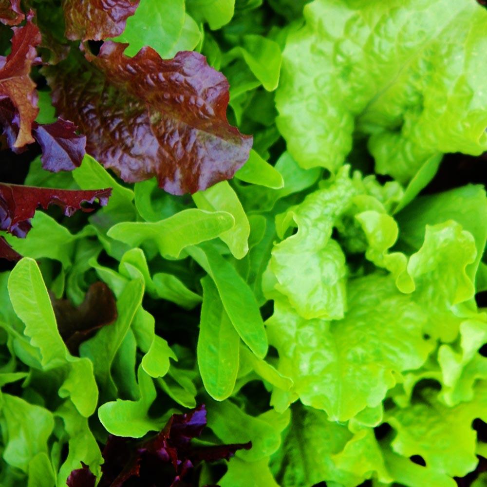 fresh vegetables speyfruit online ordering mixed leaf lettuce
