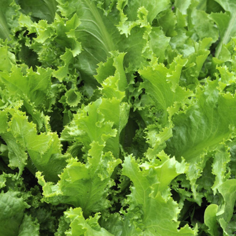 fresh vegetables speyfruit online ordering oak leaf lettuce